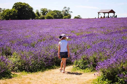 mayfield-lavender-farm